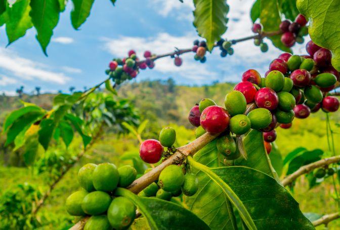 Coffee Mesa de los Santos